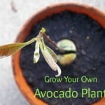 Grow Your Own Avocado Plant
