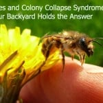 Bees and Colony Collapse Syndrome: Your Back Yard Holds the Answer