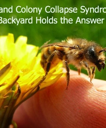 Bees and Colony Collapse Syndrome: Your Backyard Holds the Answer