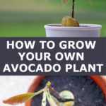 growing your own avocado plant from a pit