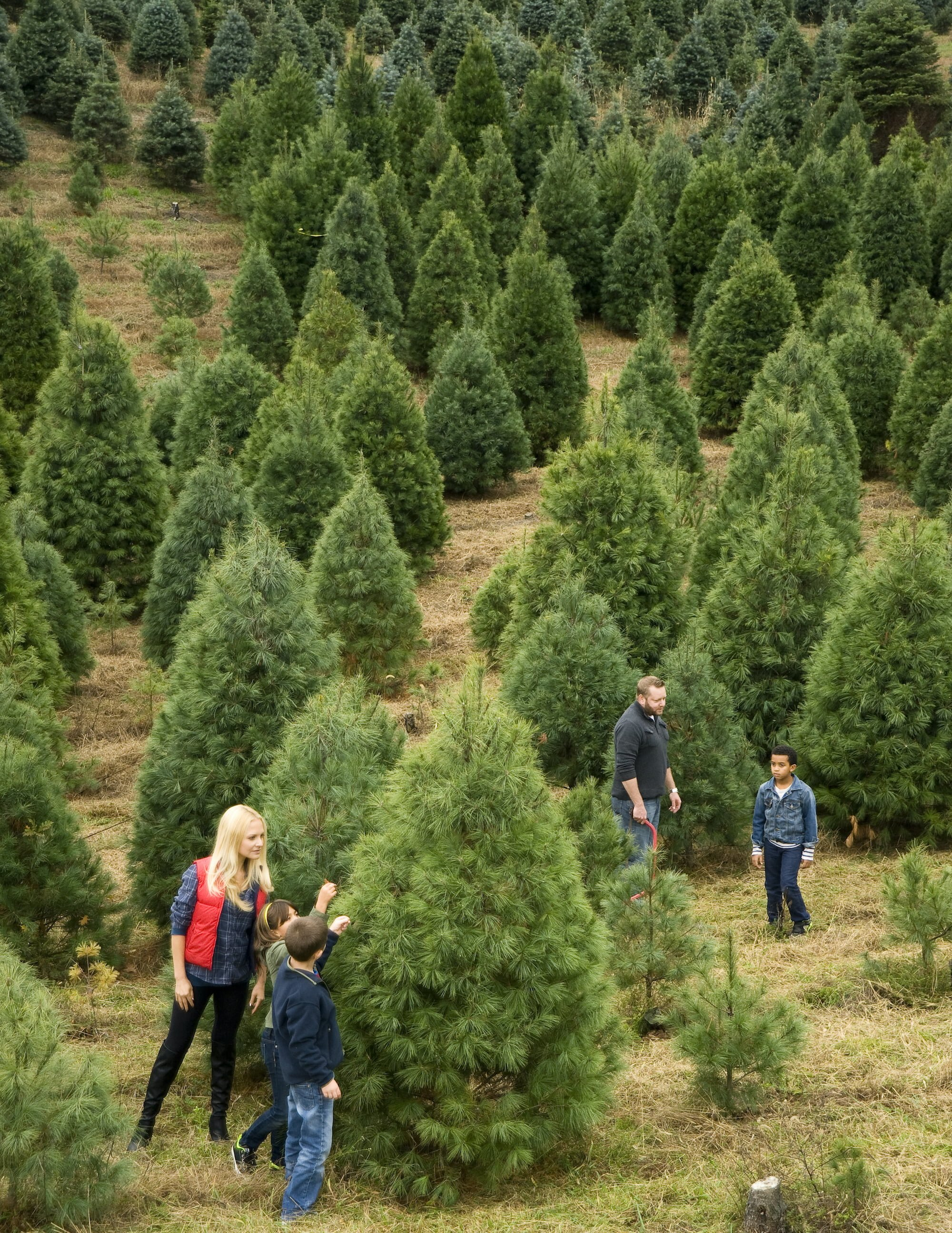 Family on a large Christmas Tree farm
